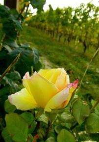 rosa gialla in Dogliani