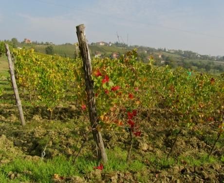 vines in Tortona