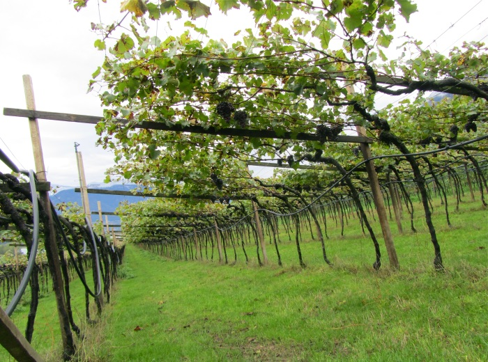 Pergola-trained vines
