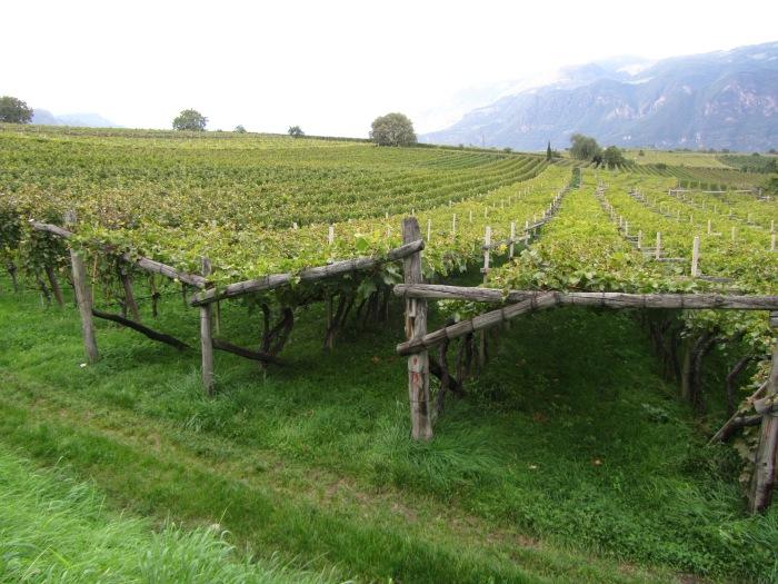 Pergola-trained vines in Alto Adige