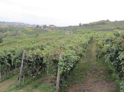 Rows of Nebbiolo and Barbera vineyards in Piemonte