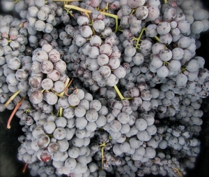 Nebbiolo grapes, actually from Rocche vyd in Barolo Oct 2 2012