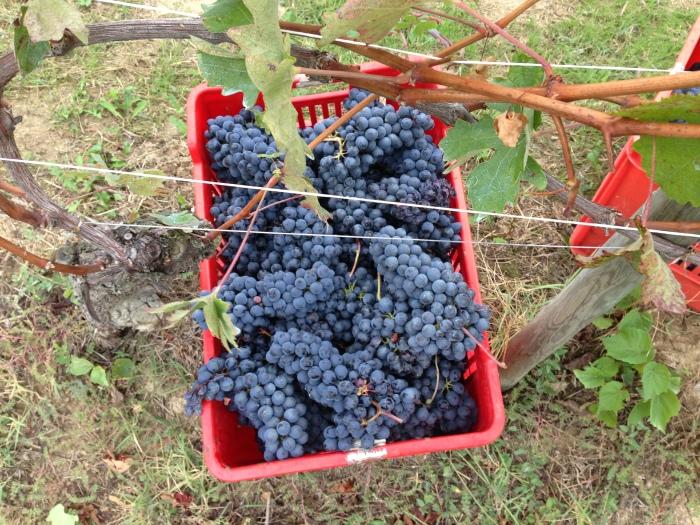 Harvest in Bricco delle Viole. OCt 4.