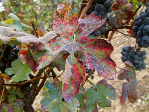 Nebbiolo leaves in Barolo  turning new colors. Oct 29.