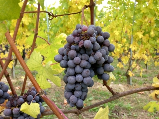 Barolo Nebbiolo, just a couple days before harvest. Oct 19.