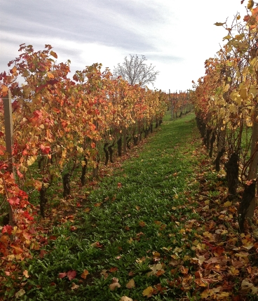 Barolo vineyards of Santa Maria. Oct 31.