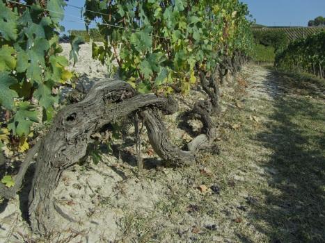 Giovanni Rosso vines in Vigna Rionda