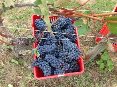 Harvest of Nebbiolo in Bricco delle Viole, 2013.