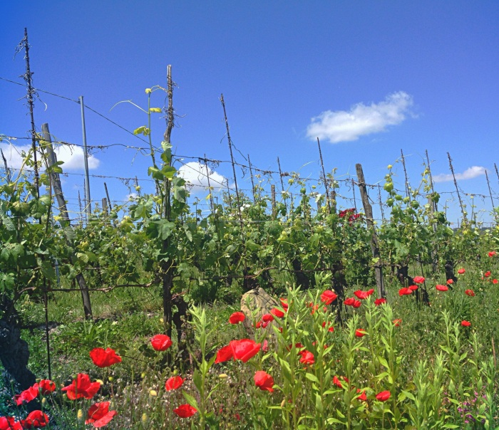Wild poppies among the Nebbiolo