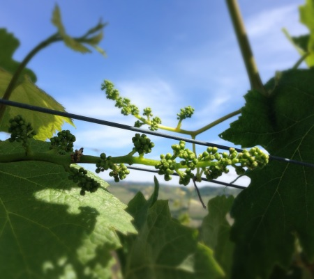 Budding Nebbiolo for the 2014 vintage