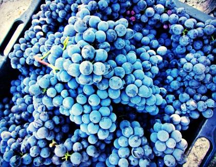 Nebbiolo from Rocche dell'Anunziata, harvest 2011.
