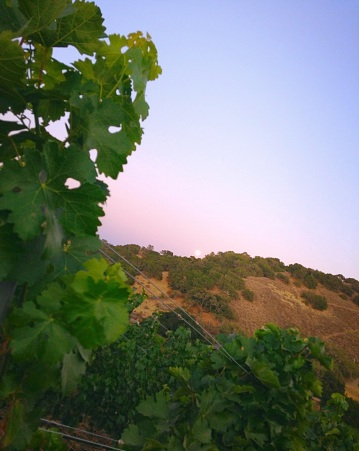 The Super Moon rising, at Grassini Family Vineyards.