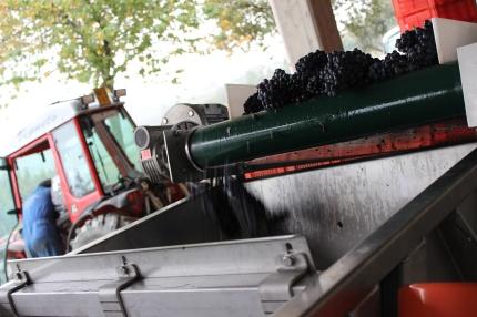 Harvest at Elio Grasso, October 2014.
