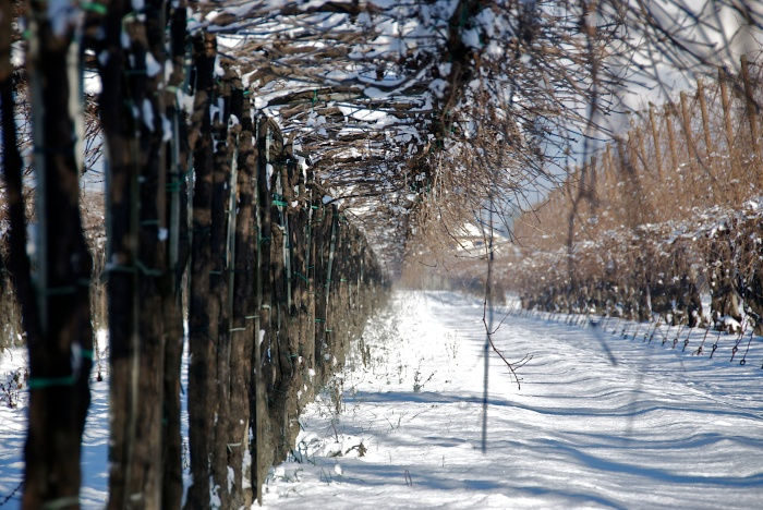 Bellussera trellis in the winter. (Photo courtesy of the winery.)