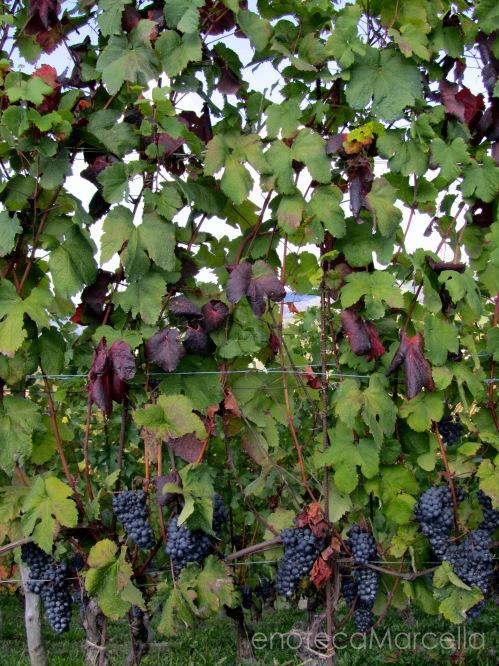 Dolcetto clusters in Dogliani