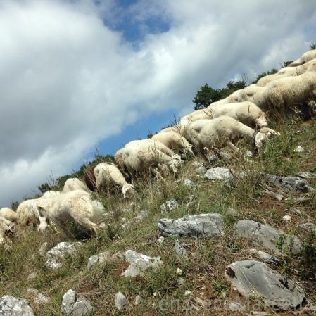 Le capre. Goats!