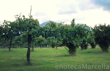 Old Aglianico vines and hazelnut trees in the Taurasi zone.