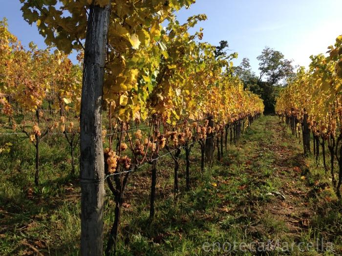 Damijan's Ribolla gialla vines.