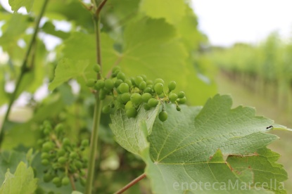 the vineyards ...