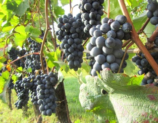 Barbera clusters in the Alba zone, 2012.
